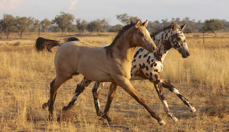 Sportaloosa International for breeders