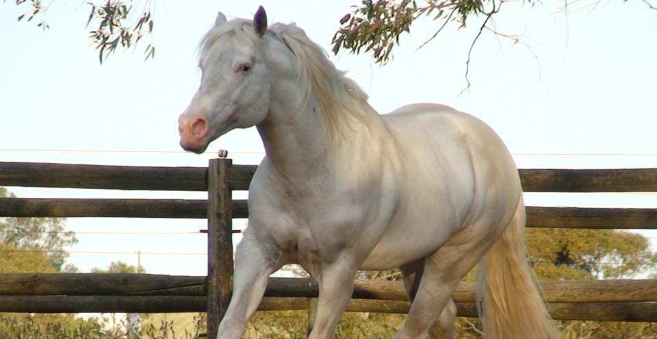 Appaloosa, Knabstrupper & Sportaloosa stallions at stud