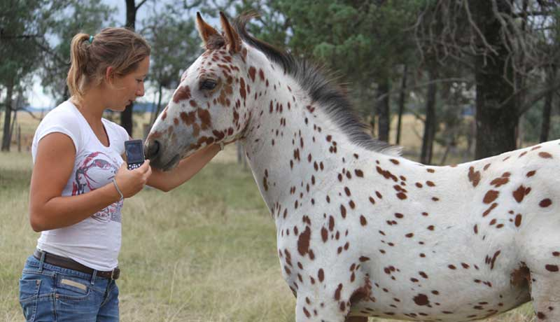 Your guide to the Sportaloosa International registry and studbooks