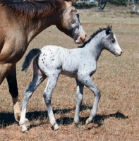 Filly from Cayuse Sportaloosas