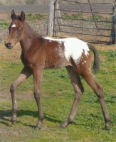 Filly from Kerrinna Appaloosas
