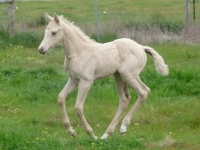 Kalaya Park Palomino filly